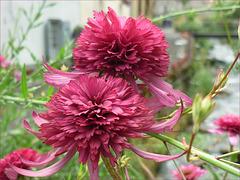 fleur Mérial
