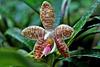 Phalaenopsis sumatrana 'South Thailand'