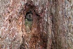 Dans le tronc d'un séquoia