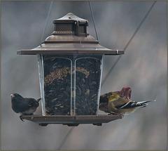 Three birds at the feeder
