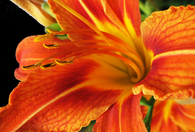 Day Lily Closeup (Explored)