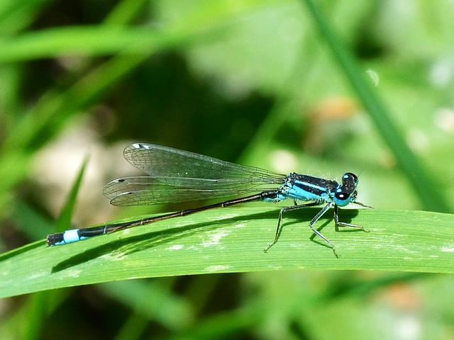 Common Bluetail m (Ischnura elegans) DSC 5544
