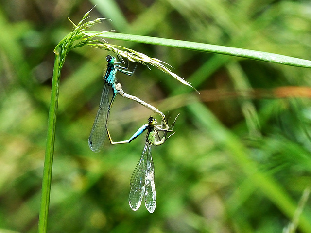 Common Bluetail in cop (Ischnura elegans) DSC 5479