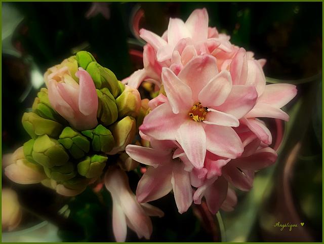 La jacinthe, une odeur enivrante aux sept couleurs !