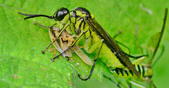 Sawfly having a wee snack!