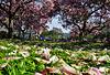 Die Magnolienzeit geht zu Ende - The Magnolia season comes to an end