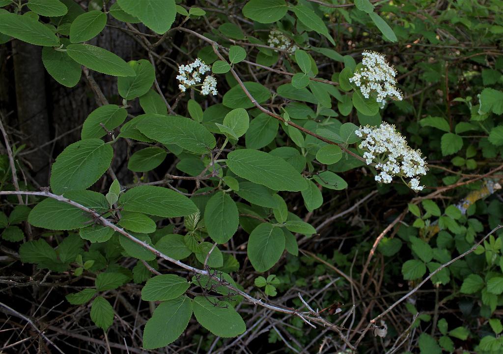 Viburnum lantana  (3)
