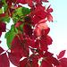 Lovely red leaves