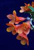 Dendrobium Illusion