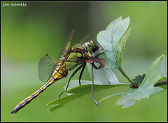 Dragonfly deadly embracing