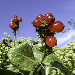 Sunlit Red Berries