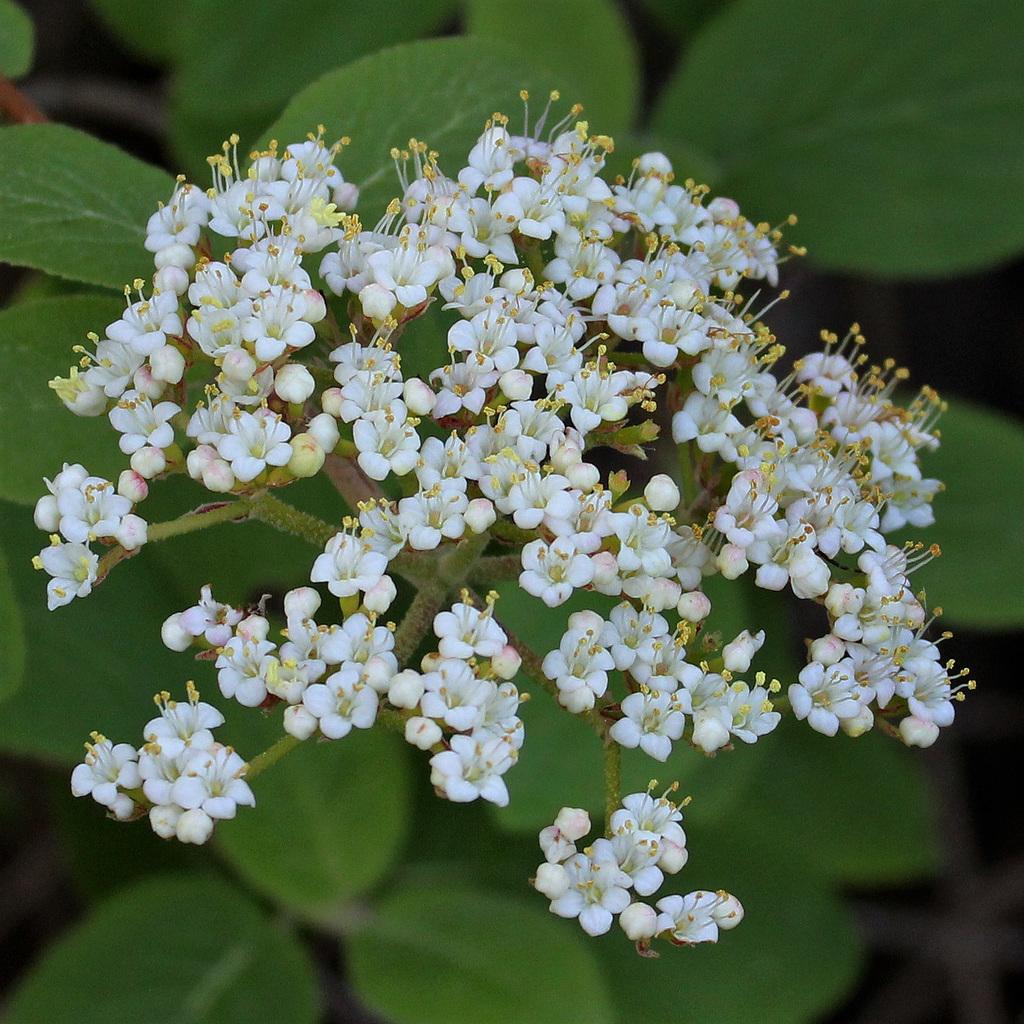 Viburnum lantana  (5)