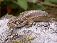 Common lizard.  Zootoca vivipara