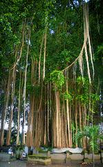 Gigantic Balinese banyan tree
