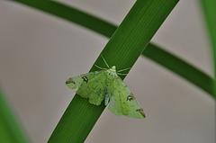 Mokosz cierniowiak  (Opisthograptis luteolata)