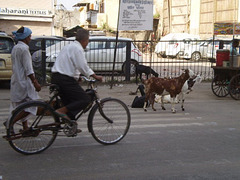 Goats loose on the street.