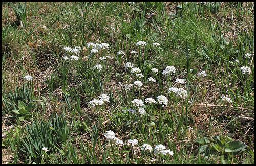 Noccaea caerulescens (1)