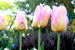 Tulpen..