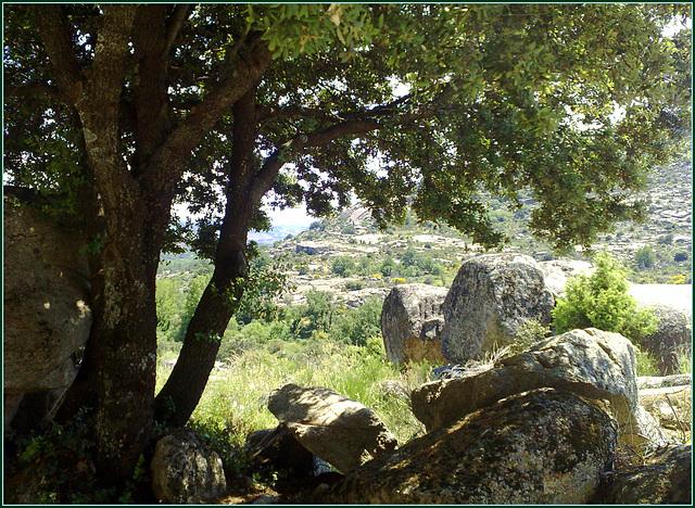 Encina (holm oak) and granite