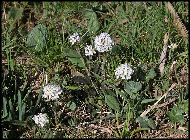 Noccaea caerulescens (2)