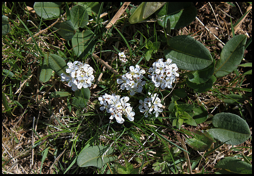 Noccaea caerulescens (4)