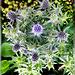 Flachblatt-Mannstreu (Eryngium planum). ©UdoSm