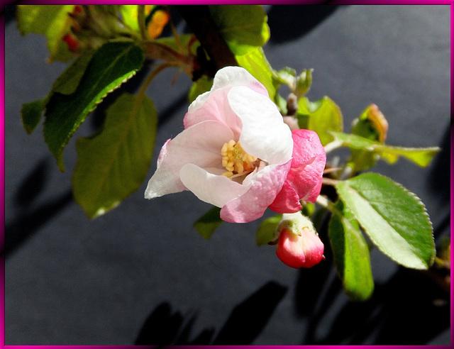 Apfelblüte. Apple Blossom. ©UdoSm