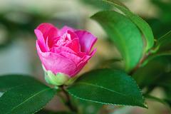 Camellia Opening