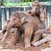 Baby elephants3