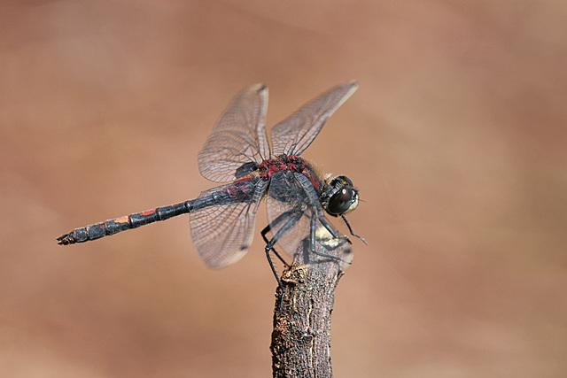 Libellen Kleine Moosjungfer 16.6.2015