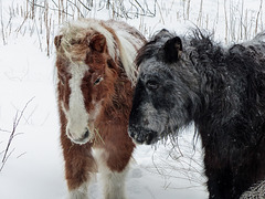 Miniature horses in a winter playground