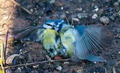 Blue tits fighting