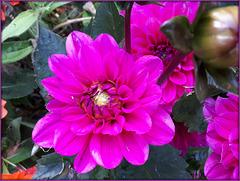 **Du rose par ce temps gris et pluvieux **