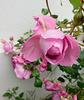 Voici revenu le temps des roses...