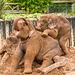 Baby elephants4