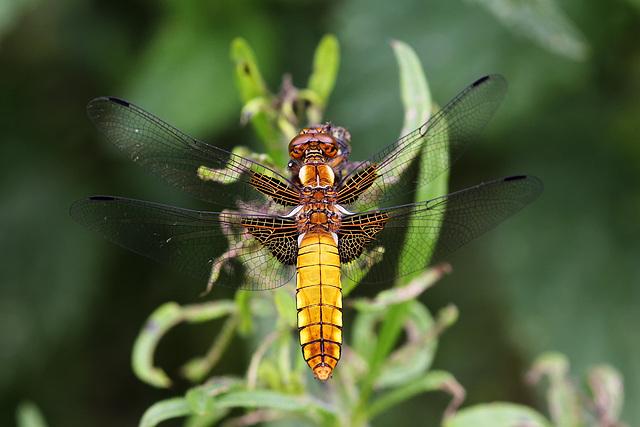 Libellen Plattbauch 21.6.2015