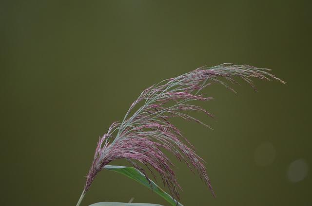 Тростянецкий дендропарк, Метелочка