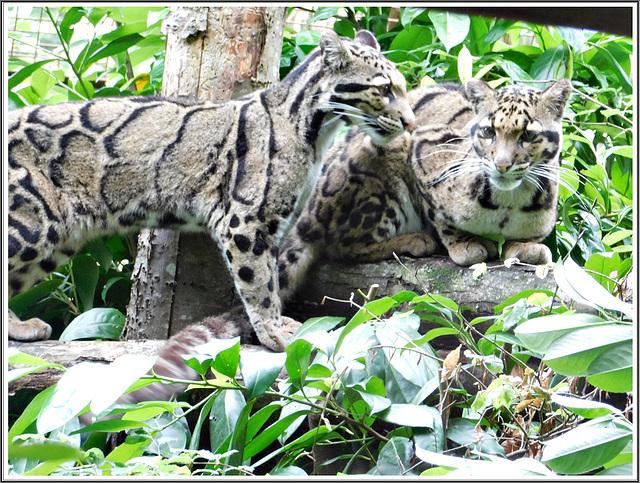 Panthères au parc zoologique de Pleugueneuc