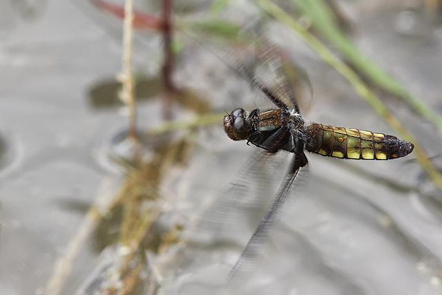 Libellen Plattbauch 28.6.2015