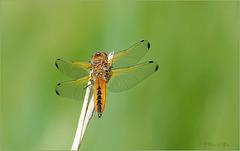 Scarce chaser ~ Bruine korenbout (Libellula fulva), female ♀...