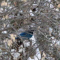 A rare glimpse of a Steller's Jay