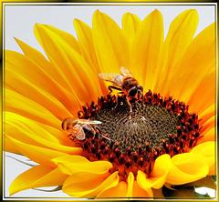 Hoverflies in sunflower-1. ©UdoSm