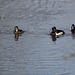 Ring necked ducks in the mild winter