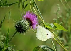 quand chardon rime avec papillon .....