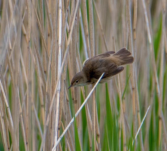 Reed warbler3