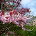 Varnadoe's Pink Azalea