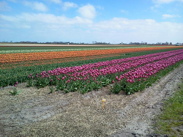 tulpen bij oudesluis