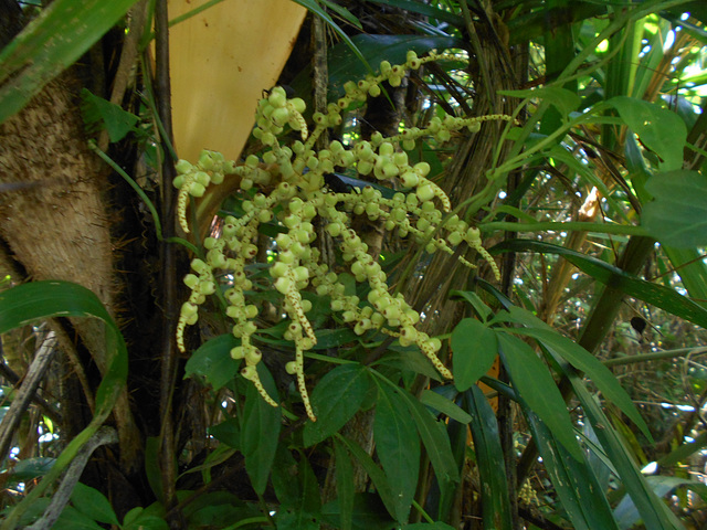 DSCN5349 - Fruto de tucum Bactris setosa, Arecaceae