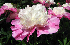Peony 'Gay Paree' Encore by My Lovely Wife (Explored)