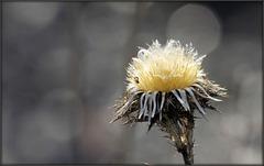 Centaurée du terril